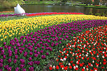 Colorful tulips in keukenhof