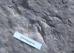 Detail of dinosaur track at the Red Gulch Dinosaur Tracksite, Worland Field Office.