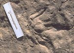 Detail of dinosaur  tracks at the Red Gulch Dinosaur Tracksite, Worland Field Office.