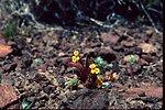 Mimulus suksdorfi  monkey flower