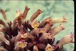 Naked broomrape  Orobanche uniflora  Wildflower