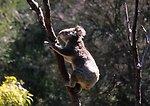 Koala bear (Phascolarctos cinereus), not a bear but an herbivorous marsupial.