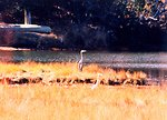 A Great Blue Heron and a Snowy Egret sharing a Patuxent River marsh area on a glorious fall day.