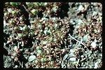 Ranunculus testiculus  bur buttercup  Wildflower, exotic annual  weed
