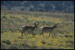 Antelope Bucks, Lakeview District.