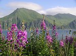 The Pass at Dutch Harbor seen through a stand of lupin.