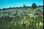 West meadow in the Owyhee Mountain  Castilleja Sp., Indian paintbrush  Wildflower