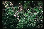 Lupin  Scenic  Wildflowers  Vegetation  Grass and brush  USRD  Upper Snake River District