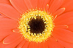 Detail of gerbera