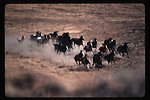 Wild horse roundup  Wild Horse and Burro Adoption Program  LSRD  Lower Snake River District