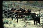 Wild Horse and Burro Gathering or roundup  LSRD  Lower Snake River District