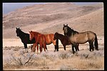 Wild horse and burro  Corral  roundup  WHB  LSRD  Lower Snake River District