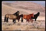 Wild horses  Wild Horse and Burro Adoptions Program  Owyhee Field Office  Boise Corrals  Lower Snake River District  LSRD