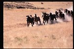 Wild Horse and Burro roundup  Vale District Oregon  LSRD  Lower Snake River District