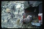 Bighorn Sheep  Wildlife  LSRD  Lower Snake River District