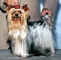 Italiano:  Bellissimo campione di razza Yorkshire Terrier chiamato WA Mozart Dolce Sinfonia (Mozart). Questo bellissimo Yorkie ha ottenuto diversi campionati di bellezza in varie parti del mondo ed e' inoltre un famosissimo attore di Hollywood. Mozart e