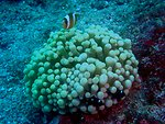 Large anemone with an orange-fin anemonefish (Amphiprion chrysopterus) and three juvenile three-spot dascyllus (Dascyllus trimaculatus)