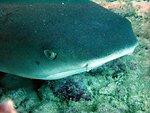 A white-tip shark (Triaenodon obesus).  Hawaiian name is mano lalakea.