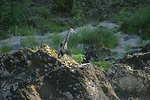 Great Blue Heron on the Wild section of the Rogue River from Grave Creek to Foster Bar.  3100 cfs at Grants Pass and 5300 at Agness.