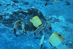 Species of butterflyfi feeding on damselfish eggs attached to substrate. Chaetodon miliaris are three yellow fish on bottom right.  Blue striped fish are Chaetodon sp.  Forcipiger longirostris is bright yellow fish in background.