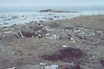 Currents carry many dead things to Punuk Island making it the graveyard of the Bering Sea.
