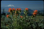 Close up of Indian Paintbrush with Mt. Shasta in background, Cascade-Siskiyou National Monument (CSNM).