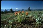 Medium shot of Indian Paintbrush with Mt. Shasta in background, Cascade-Siskiyou National Monument (CSNM).