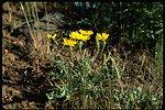 Long shot of wild Dandelion.