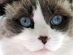 Ragdoll cat face