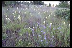 Blue-eyed Grass (Sisyrinchium bellum) and Death Camas (Zigadenus venenosus).
