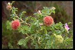 """Rose Gall, from """"Mossy Rose Gall,"""" found at Upper Trail Creek."""