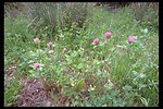 Red Clover (Trifolium pratense) found along Upper Trail Creek.  Part of a roadside seeding for stabilization.