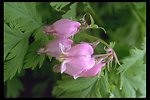 Bleeding Heart (Dicentra formosa) found near the Rogue River at Shady Cove.