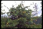 Orange Honeysuckle (Lonicera ciliosa) found along Upper Trail Creek Spring.
