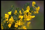 Scotch (Scot's) Broom, a noxious weed, (Cytisus scoparius) along the Rogue River Drive at Shady Cove.