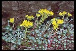 Close up of the Broadleaf Sedum, also called the Pacific Stonecrop, (Sedum spathulifolium) on a rock formation along Upper Trail Creek.