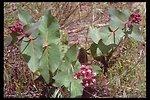 Purple Milkweed (Asclepias cordifolia) near Lost Creek Lake.