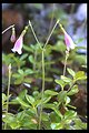 Twinflower (Linnaea borealis) along West Fork Evans Creek.