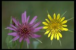 Western Salsify, also called the Oyster Flower (Tragopogon dubius = yellow) and Common Salsify, also called the Cornflower (Tragopogon porrifolius = purple) near Trail, Oregon.