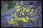 Naked Eriogonum (Eriogonum nudum) along Highway 227 a few miles east of Trail, OR.
