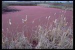 Algae bloom on pond at the Denman Wildlife Area near White City, Oregon.