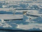 Polar bear with curious cub on first year ice floes