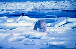 Polar bear  - Ursus maritimus - appears to be stalking walrus - in fact was running from helicopter noise.