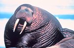 Large fat walrus - Odobenus rosmarus divergens - showing extent of blubber deposits.