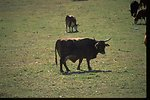 Cow in private pasture near section 2 of the John Day River.