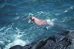 Walrus  - Odobenus rosmarus divergens - swimming close to shore.