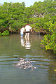 Volunteers hunt for discarded monofilament in the roots and branches of mangroves. A dead victim, a brown pelican floats in the water nearby.