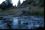 Old dead juniper fallen into the John Day River.