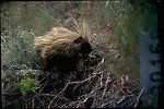 Porcupine found at Miner's Flat.