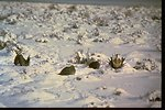 Sage Grouse standing in a snowy field in the Deschutes River area.